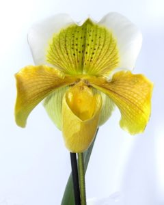 a yellow and white orchid